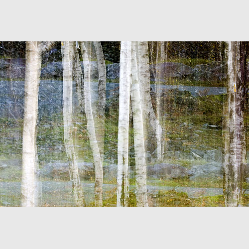 Silver birch trees, Hodge Close, Cumbria